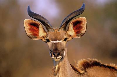 Greater Kudu Art Print by Tony Camacho/science Photo Library