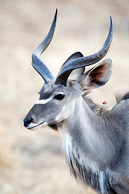 Herbivorous Photograph - Greater Kudu Tragelaphus Strepsiceros by Panoramic Images