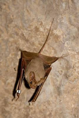 Bat Photograph - Greater Mouse-tailed Ba by Photostock-israel