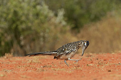 Roadrunner Photograph - Greater Roadrunner (geococcyx by Rolf Nussbaumer