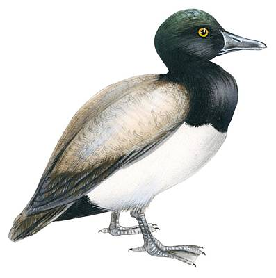 Duck Drawing - Greater Scaup by Anonymous