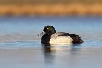 Photograph - Greater Scaup by Daniel Behm