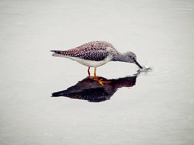 Greater Yellowlegs Catching Fish Print by Zinvolle Art