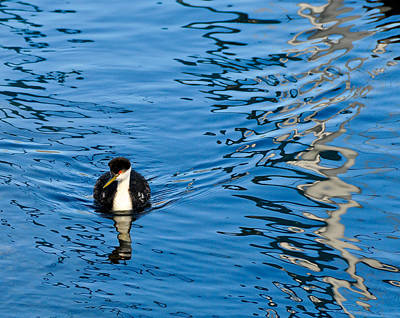 Photograph - Grebe by Don and Bonnie Fink