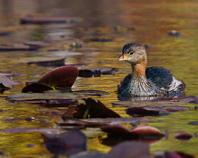 Photograph - Grebe In The Lillies by Timothy McIntyre