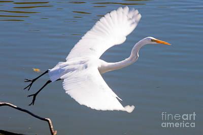 Greeat Egret Flying Art Print by Thomas Marchessault