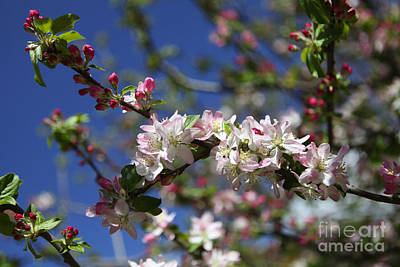 Photograph - Greek Apple Tree In Blossom by Paul Cowan