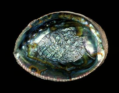 Abalones Photograph - Green Abalone Sea Snail Shell by Gilles Mermet