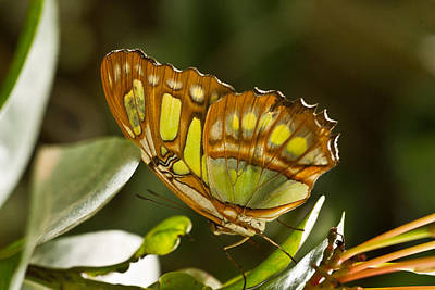 Green And Brown Tropical Butterfly Art Print