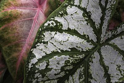 Photograph - Green And Pink Caladiums by Fran Gallogly