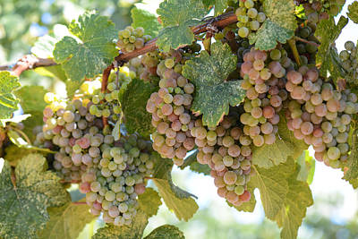Green And Pink Grapes On The Vine Print by Brandon Bourdages