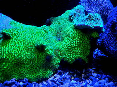 Photograph - Green And Purple Coral by Kirsten Giving