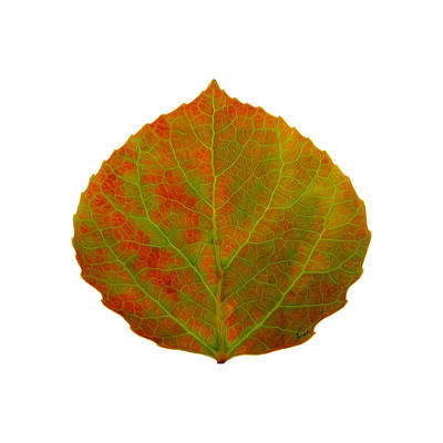 Travel - Green and Red Aspen Leaf 5 by Agustin Goba