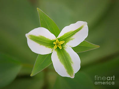 Forest Floor Photograph - Green And White Trillium by Todd Bielby