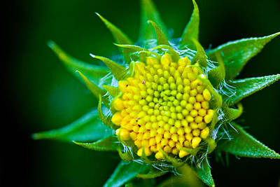 Photograph - Green And Yellow Bloom by Sennie Pierson