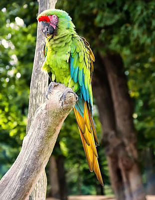 Digital Art - Green And Yellow Macaw by Chris Flees
