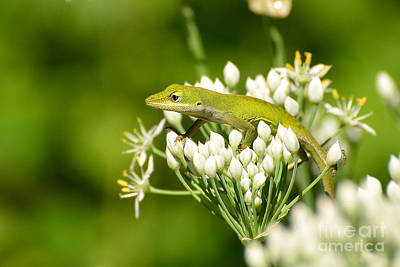 Photograph - Green Anole I by Kathy Baccari