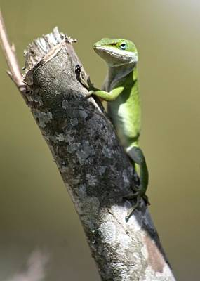 Photograph - Green Anole Ready For Lunch by Jeanne Kay Juhos