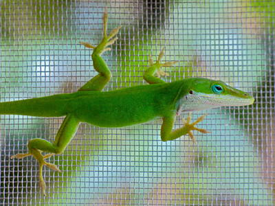 Photograph - Green Anole Lizard by Jean Wright