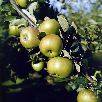 Bramley Photograph - Green Apples On Branch by Anthony Cooper