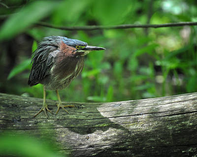 Photograph - Green Backed Heron At The Swamp by Rebecca Sherman