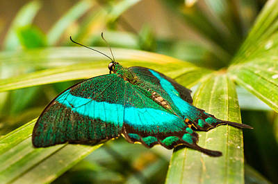 Photograph - Green-banded Swallowtail by Bill Pevlor