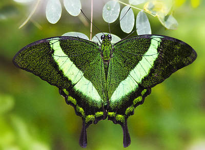 Photograph - Green-banded Swallowtail  by Saija  Lehtonen