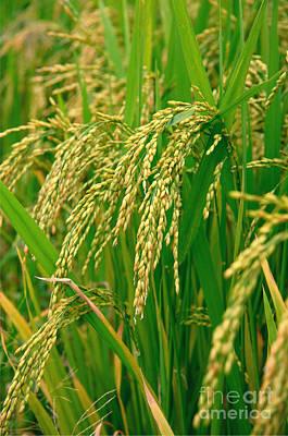 Green Beautiful Rice Farming Print by Boon Mee