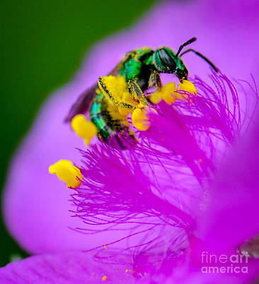 Photograph - Green Bee Breakfast by Amy Porter