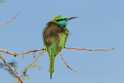 Green Bee-eater (merops Orientalis) Art Print