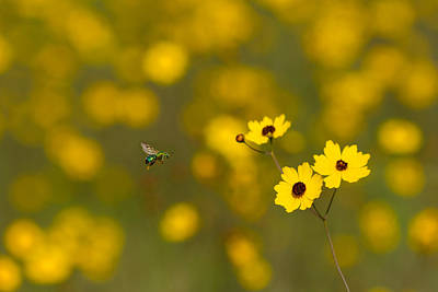 Photograph - Green Bee Yellow Flowers by Paul Rebmann
