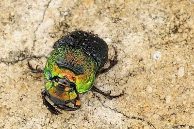 Photograph - Green Beetle 2 by Bradford Martin