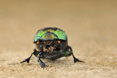 Photograph - Green Beetle by Bradford Martin