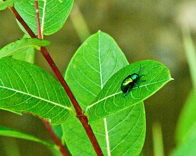 Green Beetle Foraging Art Print by Douglas Barnett