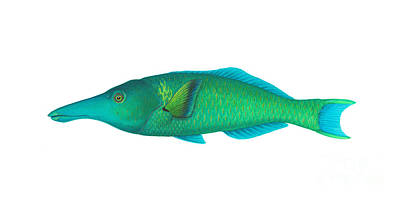 Varius Photograph - Green Bird Wrasse Gomphosus Varius by Carlyn Iverson