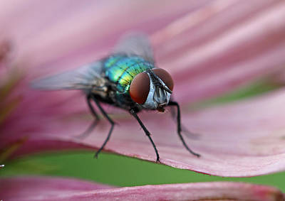 Fly Photograph - Green Bottle Fly by Juergen Roth