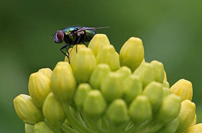 Photograph - Green Bottle Fly Macro by Juergen Roth