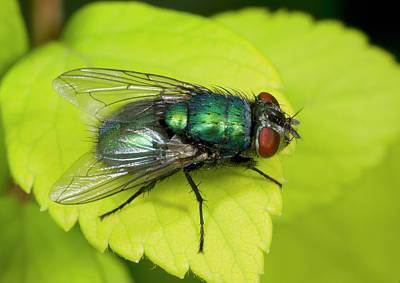 Green Bottle Fly Print by Nigel Downer