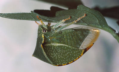Photograph - Green Buffalo Treehopper by Harry Rogers