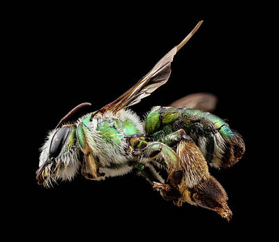 Burrow Photograph - Green Burrowing Bee by Us Geological Survey