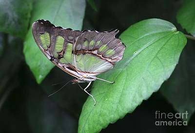 Photograph - Green Butterfly On Green by Jeremy Hayden