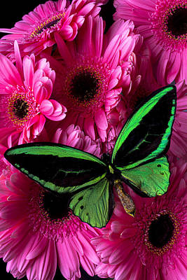 Gerbera Daisy Photograph - Green Butterfly On Pink Daisy by Garry Gay