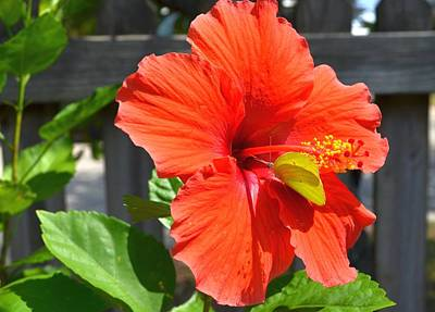 Photograph - Green Butterfly On Red Hibiscus by Jeff at JSJ Photography