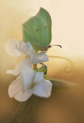 Photograph - Green Butterfly On The White Sweet Pea by Jaroslaw Blaminsky
