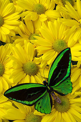 Butterfly Photograph - Green Butterfly On Yellow Mums by Garry Gay
