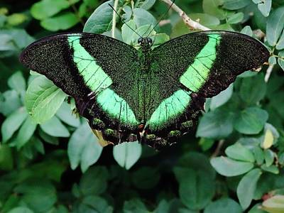 Insect Photograph - Green Butterfly by Savanna Paine
