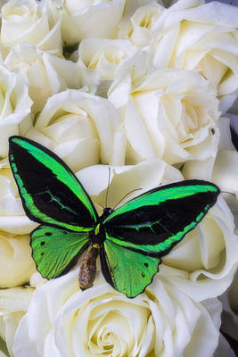 Butterfly Photograph - Green Butterfly With White Roses by Garry Gay