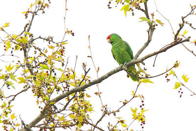 Photograph - Green-cheeked Amazon Parrot by Ram Vasudev