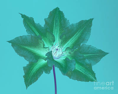 Green Clematis On Turquoise Art Print by Rosemary Calvert