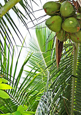 Photograph - Green Coconut Art  by Candace Zynda